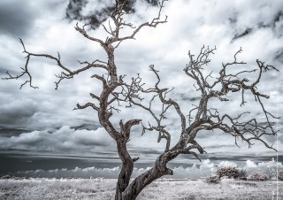 Un arbre mort infrarouge
